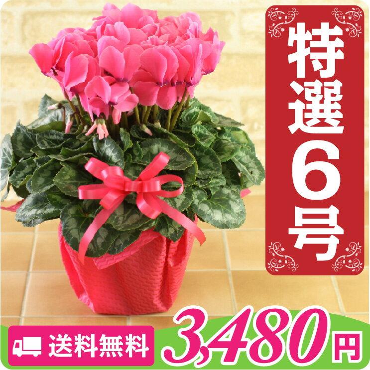 【シクラメン】鉢花 6号鉢 シクラメン パステルシクラメン お歳暮 花 クリスマスプレゼント 鉢植え