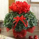 【シクラメン】6号 鉢花 シクラメン 花 レッド お歳暮 花 クリスマス プレゼント 花