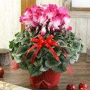 【シクラメン】6号 鉢花 シクラメン プルマージュ等ワイン系 誕生日 花 クリスマス プレゼント 花