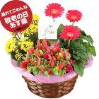 敬老の日 花 鉢植え 3種の花で作る季節の花かご【ハピネス】 誕生日