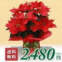 ポインセチア 鉢花 大きめ5号鉢 ギフト用 ポインセチアの鉢植え 花 ポインセチア お歳暮 花 クリスマス プレゼント 花