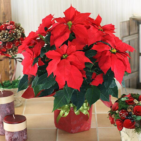 ポインセチア 鉢花 5号鉢 ギフト用 鉢植え