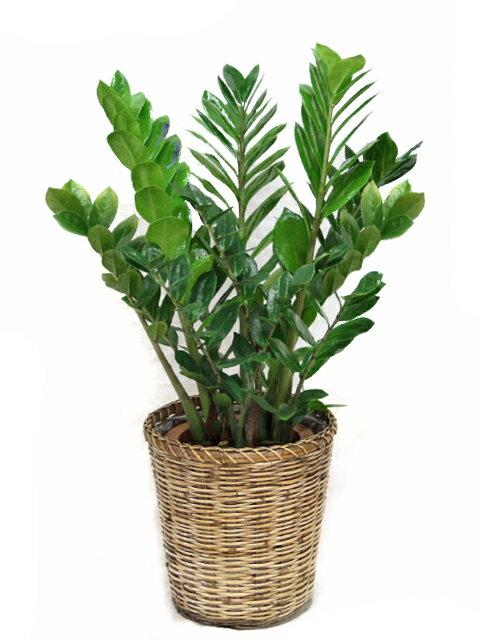 【送料無料】観葉植物ザミオクルカス・ザミフォーリア7号【鉢カバーセット】【立て札&メッセージカード無料】手間いらずなのにスタイリッシュな観葉植物です10P03Dec16
