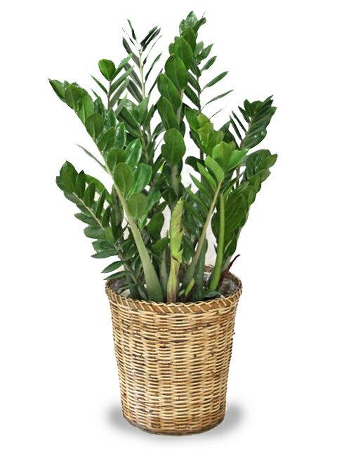 【送料無料】ザミオクルカス ザミフォーリア8号【鉢カバー付】【立て札&メッセージカード無料】手間いらずなのにスタイリッシュな観葉植物です10P04Jul15