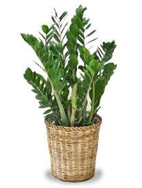 ザミオクルカス ザミフォーリア8号【立て札&メッセージカード無料】手間いらずなのにスタイリッシュな観葉植物です10P04Jul15