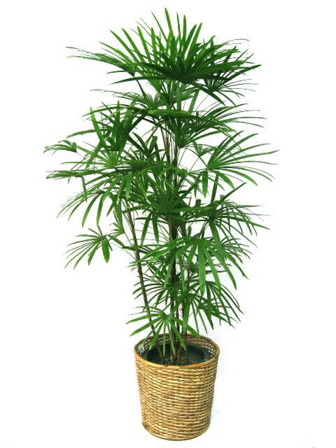 【送料無料】高級感漂う和モダンな観葉植物棕櫚竹(シュロチク) 10号【鉢カバー付】【立て札&メッセージカード無料】10P03Dec16