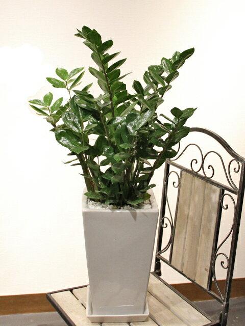 ザミオクルカス ザミフォーリア(ザミア)白陶器鉢仕立て手間いらずなのにスタイリッシュな観葉植物です立て札&メッセージカード無料!10P30Nov14