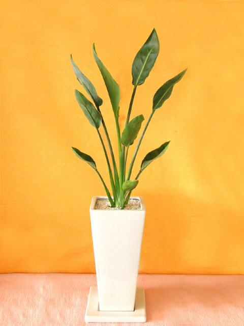送料無料!ストレリチア レギネ白陶器鉢仕立てLサイズおしゃれなカフェやインテリア雑誌などで人気の観葉植物【立札&メッセージカード無料】10P07Feb16