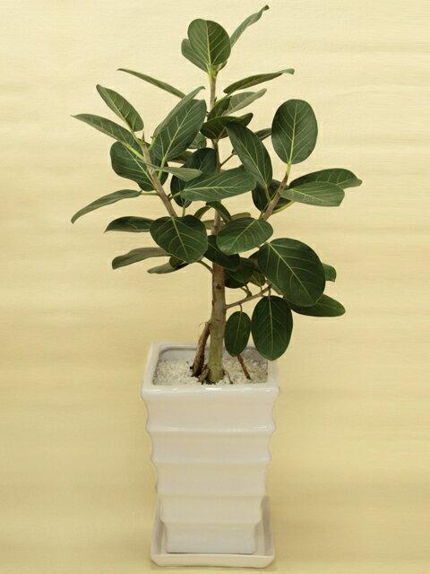 ベンガルボダイジュ 白陶器鉢仕立てインドでは聖なる木、長寿の木ともいわれる観葉植物立て札&メッセージカード無料!【マラソン201302_フラワー】P08Apr16