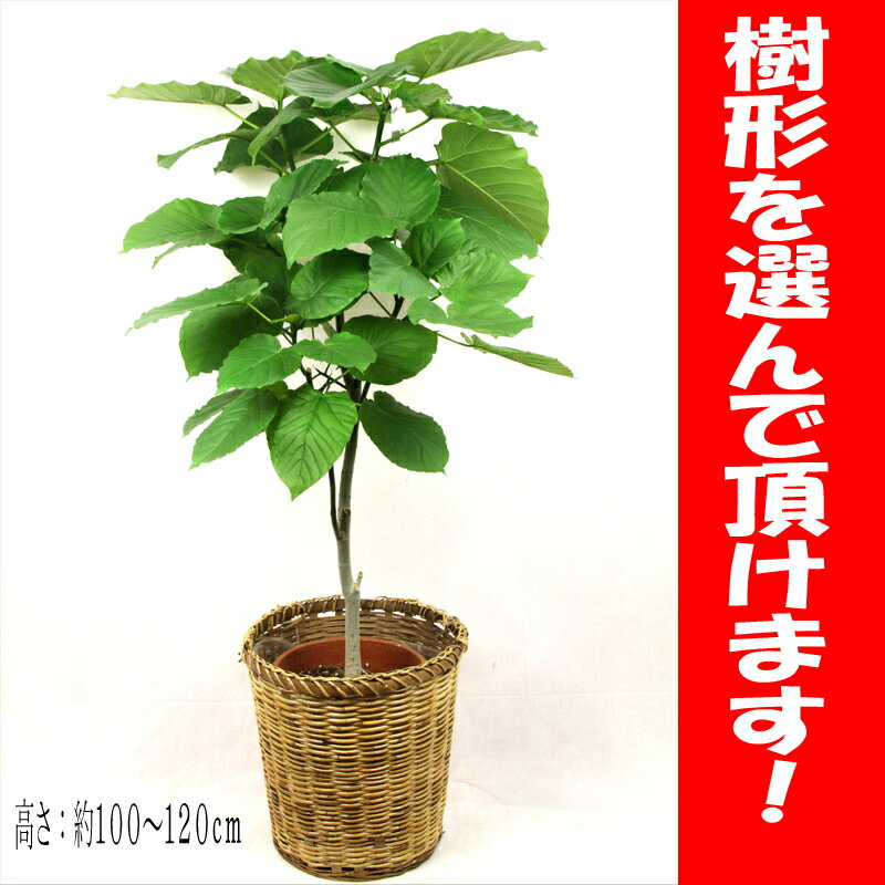 【送料無料】観葉植物 ウンベラータ8号【樹形選べます】【鉢カバー付】【立て札&メッセージカード無料】10P03Dec16