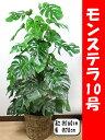 モンステラ10号【鉢カバー付】【立て札&メッセージカード無料】エキゾチックで美しい観葉植物です10P05Nov16