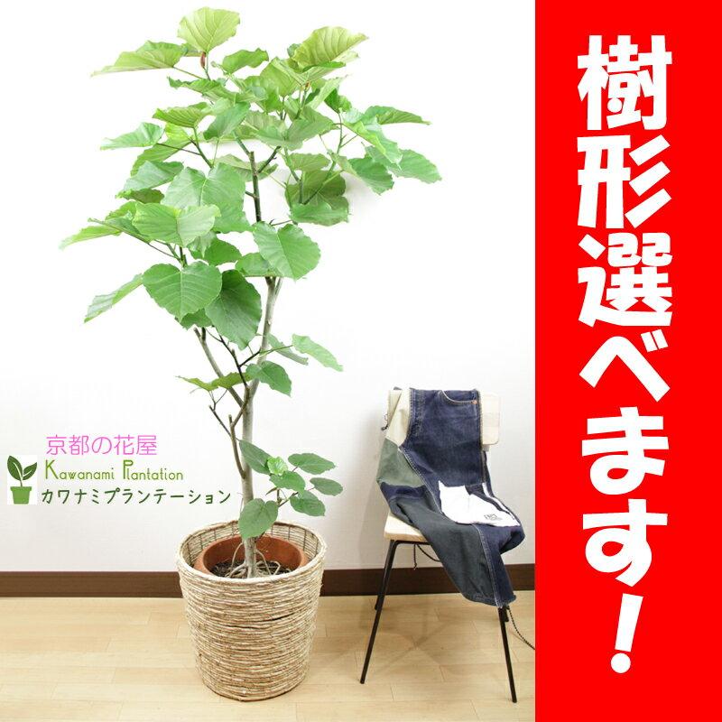 ウンベラータ10号【樹形選べます】【ラッピング無料】【立て札&メッセージカード無料】10P03Dec16