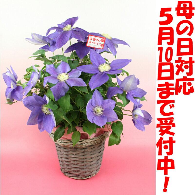クレマチステッセン鉢植え【送料無料】【母の日】【メッセージカード無料】10P23Apr16