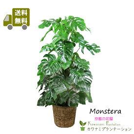 モンステラ10号【送料無料】【立て札&メッセージカード無料】エキゾチックで美しい観葉植物です