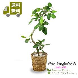 【送料無料】フィカス ベンガレンシス幹曲り8号インドでは聖なる木、長寿の木ともいわれる観葉植物立て札&メッセージカード無料!10P03Dec16