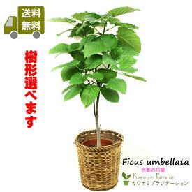 【送料無料】観葉植物 ウンベラータ8号【樹形選べます】【鉢カバーセット価格】【立て札&メッセージカード無料】10P03Dec16