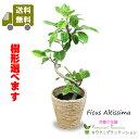 アルテシーマゴムの木幹曲り7号【送料無料】【樹形選べます】【立て札&メッセージカード無料】ゴムの木の中でも葉色…
