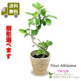 アルテシーマゴムの木幹曲り7号【送料無料】【樹形選べます】【立て札&メッセージカード無料】ゴムの木の中でも葉色がとても美しい観葉植物です!532P15May16