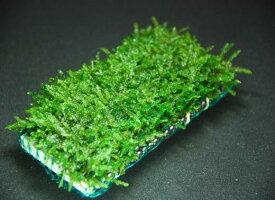 (水草)国産無農薬 ウィローモスマット (横10cm*縦5cm)置くだけ簡単レイアウト