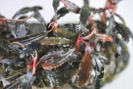 (水草)ブセファランドラ sp クダガン 1株 赤色系のきれいなブセファンドラ