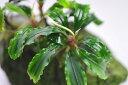 (水草)ブセファランドラ グリーンウエィビー 1株 緑のきれいなブセファンドラ