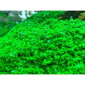 (水草) キューバパールグラス (5×5cm)