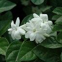 【冬価格】 ハーブの苗 「アラビアンジャスミン一重咲き(マツリカ一重咲き)  9cmポット」