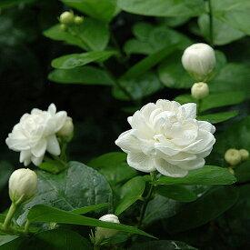 ハーブの苗 「アラビアンジャスミン八重咲き(マツリカ八重咲き) 9cmポット」