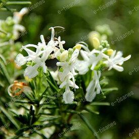 ホワイト・ローズマリー(立性)/ハーブの苗 9cmポット