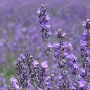 【初夏特別価格】ハーブの苗 「ラベンダー・オカムラサキ(丘紫) 9cmポット」(スパイカ系)