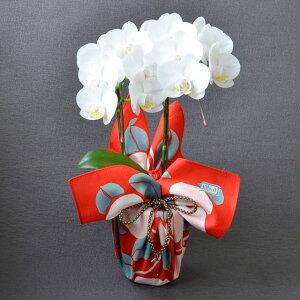 ミディ胡蝶蘭 風呂敷包み 2本立ち 白色 竹久夢二 つばき