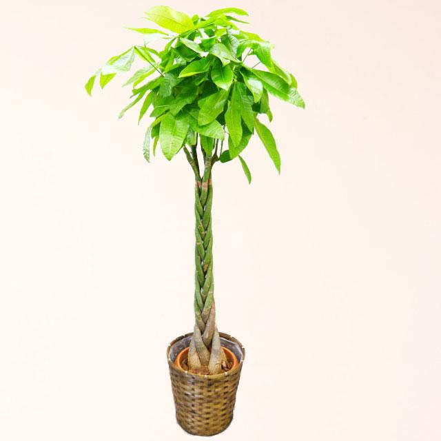 観葉植物 パキラ 10号鉢 バスケット付 送料無料