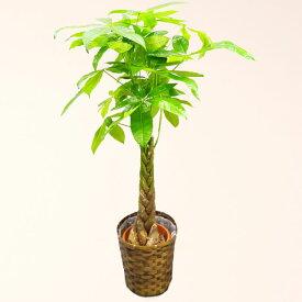 観葉植物 パキラ 8号鉢 バスケット付 送料無料