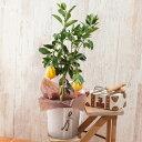 【父の日フラワーギフト特集】鉢植え「レモン」