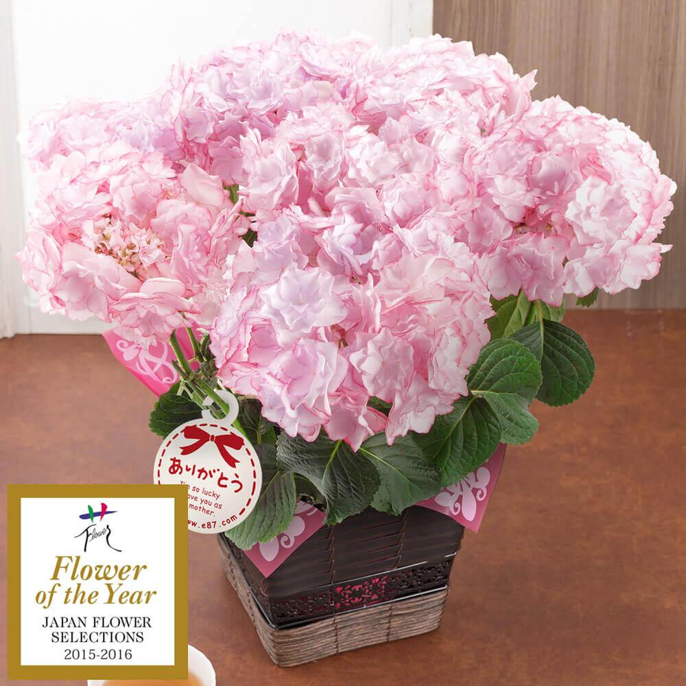【母の日フラワーギフト】【送料無料】鉢植え「アジサイ KEIKO〜フラワー・オブ・ザ・イヤー2015受賞〜」