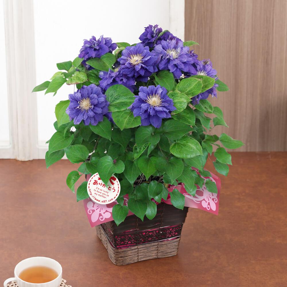 【送料無料】 鉢植え「クレマチス キリテカナワ」 プレゼント 2019 【母の日フラワーギフト】