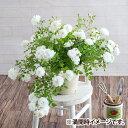 お中元 夏ギフト 鉢植え「しだれ咲きバラ スノーシャワー」 フラワーギフト 熨斗