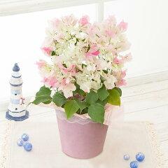 鉢植え「初節句を祝う桃の鉢植え」