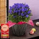 鉢植え「プレミアムりんどう 花巻銀河ブルー」インテリア フラワー ギフト 花 プレゼント お祝い 記念 贈り物 サプラ…