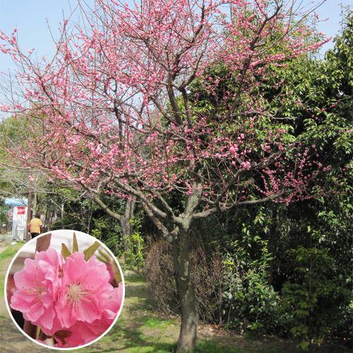 """【記念樹・シンボルツリー】「花桃 """"矢口""""/ひな祭りの花」"""