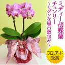 【鉢植え・花鉢】「ミディー胡蝶蘭 チュンリー〜モダンな風呂敷包み〜」【千趣会イイハナ】