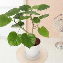 観葉植物「フィカス・ウンベラータ」6号 観葉 インテリア グリーン 鉢植え 誕生日プレゼント 結婚記念日 誕生日 ギフ…