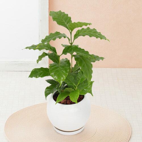 【観葉植物】「コーヒーの木」