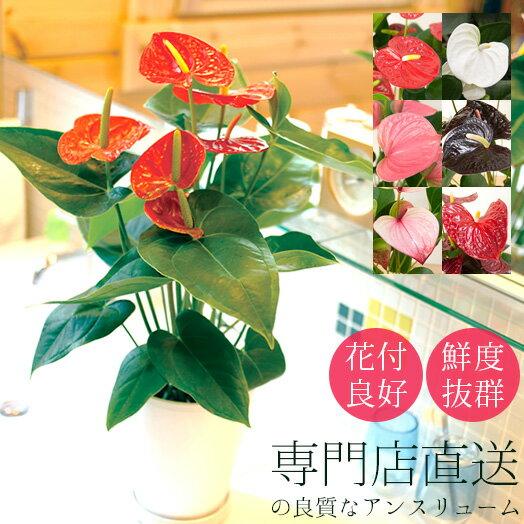 【送料無料】アンスリウム 鉢植え 6号 シンプル白プラ鉢 新築祝い 開店祝い【アンスリューム 赤 ピンク】[g-anthurium01]