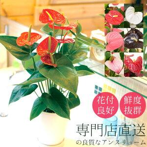 アンスリウム 鉢植え 6号 シンプルプラ鉢 (新築祝い 開店祝い お祝い ギフト アンスリューム 赤 ピンク 白)[g-anthurium01]