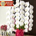 ポイント10倍(11/19 AM9時迄)胡蝶蘭 大輪 3本立ち 40輪(蕾含む)以上 お祝い 花 開店祝い 開業祝い 就任 栄転 還暦 …