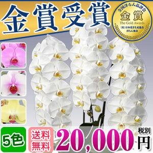 胡蝶蘭 3本立ち 大輪(33〜36輪) 20,000円...