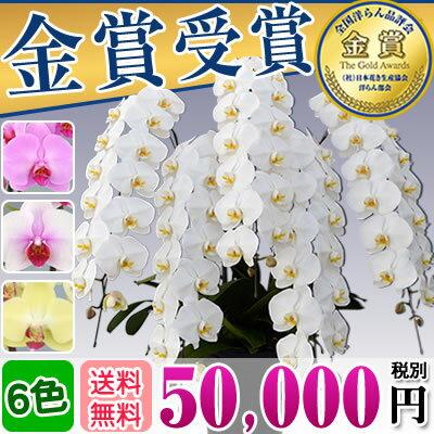 胡蝶蘭7本立ち大輪(60〜70輪)50,000円