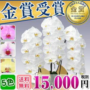 胡蝶蘭 3本立ち 大輪(30〜33輪)15,000円(...
