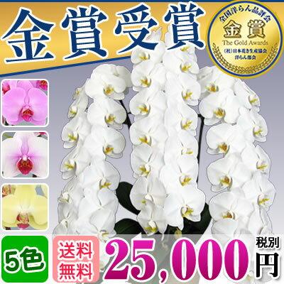 胡蝶蘭3本立ち大輪(36〜40輪)25,000円